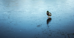 When you're feeling blue... (Digsys Diner) Tags: frozen lake duck drake mallard blue cold ice outdoor lone single alone shadow