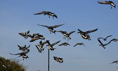 Barnacle Geese (Peanut1371) Tags: barnaclegoose goose geese nationalgeographicwildlife