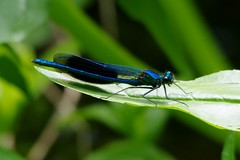 IMGP4146 Banded Demoiselle, Lackford Lakes, June 2015 (bobchappell55) Tags: nature suffolk wildlife lakes reserve trust demoiselle resting damselfly banded lackford