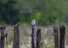 Bird - Lavadeira (sostenesmonteiro) Tags: bird nature birds nikon natureza passarinho passaro passaros passarinhos lavadeira lavadeiramascarada d5200 sostenesmonteiro totecmt