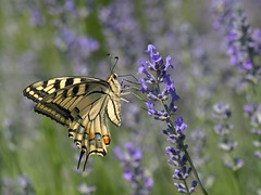 Macaone (giansacca) Tags: flowers fleurs butterfly ngc insects lepidoptera papillon npc fiori mariposa farfalla insetti lavanda farfalle papiliomachaon macaone lepidottero macaón