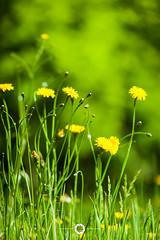 Dandelions (Bennett Photography - jonyb466) Tags: summer plant flower nature up grass yellow garden weed close natural bokeh dandelion