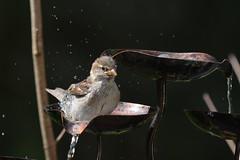 Bathing... (dbifulco) Tags: birdbath bathing housesparrow fledgling