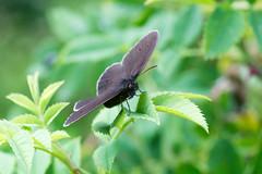 Darth Butterfly
