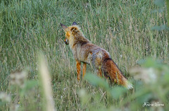 {Vulpes vulpes} Acechando ratones/ stalking mice (Cazadora de Fotos) Tags: wild naturaleza cute love animals nice awesome natura fox animales ni lovely zorro salvajes iberica vulpes acecho