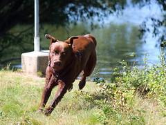 Leo der Labrador (Klaus R. aus O.) Tags: dog pet wet water grass canon wasser labrador leo run hund gras rennen haustier nass 650d