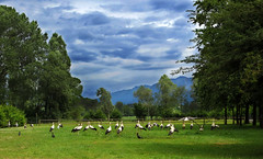 IMG_4586 a stork meeting (pinktigger) Tags: blue trees sky italy mountains green bird nature clouds italia meadow stork cegonha cigea friuli storch ooievaar fagagna cicogne cicogna oasideiquadris feagne