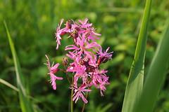Cardamine pratensis (Impluviatus22) Tags: flower wiese blume blte brassicaceae cardamine wiesenschaumkraut schaumkruter
