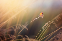 Butterfly (Pásztor András) Tags: sunset nature grass rural butterfly photography nikon hungary mood andras pasztor d5100