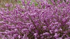 Daphne mezereum (Thymelaeaceae) (Ruissalo Botanic Garden, Turku, 20150418) (RainoL) Tags: pink flowers plants plant flower finland geotagged outdoors spring turku clr april daphne shrub fin botanicalgarden ruissalo 2015 daphnemezereum thymelaeaceae ruissalonkasvitieteellinenpuutarha varsinaissuomi 201504 ruissalobotanicgarden 20150418 geo:lat=6043288743 geo:lon=2217213213