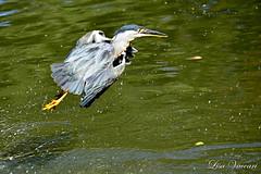 Socozinho (Butorides striata) (Lisa Vaccari) Tags: lago natureza pssaro ave socarlos butoridesstriata bico aoarlivre soczinho avevoando