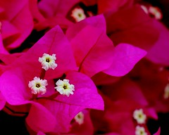 Tres flores blancas (camus agp) Tags: espaa canoneos malaga bougainvilleas florblanca buganvillas bracteas