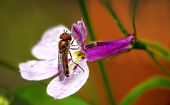 All in a day's work (Caleb4Ever) Tags: flower color colour macro nature colors closeup bug garden insect fly wings colorful purple colourful caleb4ever