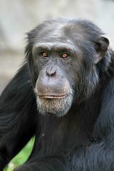 Chimpanzé (olivier.ghettem) Tags: africa portrait valencia animal monkey spain extérieur espagne primate valence afrique singe chimpanzé bioparcvalencia