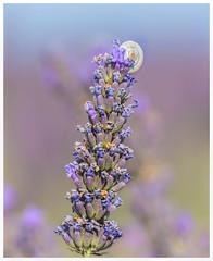 Little Snail (marypink) Tags: summer flower macro nature focus estate bokeh details snail lavander provence fiore provenza chiocciola 70300mmf456 nikond7200