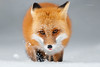Red-fox (Mike Veltri) Tags: redfox snow winter wild nature ontario canada