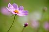 練習曲 Cosmos _MG_9349 (阿Len) Tags: 小波 波斯菊 花 flower plant 6d 70300 ef70300mmf456isusm 小小黑 桃園 八德 落羽松 霄裡里 cosmos