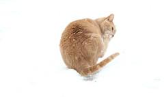 No snow on the toes (Kerri Lee Smith) Tags: snow jimmy feline tabby orangetabby orangecat buffcat toes snowflakes winter