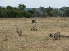 L1010424 (mylesm00re) Tags: africa limpopo phacochoerusafricanus vlakvark welgevondengamereserve za commonwarthog southafrica