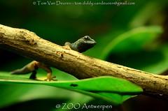 Azuurblauwe daggekko - Lygodactylus williamsi - Turquoise Dwarf Gecko (MrTDiddy) Tags: azuurblauwe daggekko lygodactylus williamsi turquoise dwarf gecko azuur blauw blauwe dag gekko poop reptiel reptile reptillian zooantwerpen zoo antwerpen antwerp