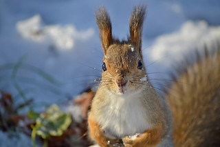 - Hi! Is it me you're looking for? #Finland #Winter #Squirrel