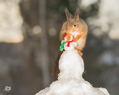 say no more (Geert Weggen) Tags: red nature animal squirrel rodent mammal cute look closeup stand funny bright sun backlight ice winter snow christmas bells holiday santa snowman face head home hole pair couple duo female dance holding geertweggen geert hardeko jämtland ragunda bispgården