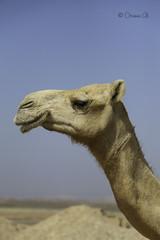 I'm Here (Osama Ali Photography) Tags: animal animals animales camels camel camello desert desierto sand sahara salvaje arena wildlife wild egypt egipto dry seco sunlight جمل جمال صحراء مصر البرية حيوانات