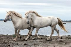 2016 Two Camargue Stallions (6) (maskirovka77) Tags: saintlaurentdaigouze languedocroussillonmidipyrén france languedocroussillonmidipyrénées fr stallion stallions whitehorse whitehorses whitestallion whitestallions createaway photoworkshop