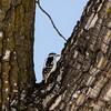 Woodpecker (Colby Stopa) Tags: woodpecker bird birds wildbird wildlife animals nature canada fishcreekprovincialpark calgary alberta colbystopa nikon nikond7000 forest