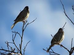 Mocking Me (Chic Bee) Tags: birds backyard tree branch mockingbird canonsx60hs wintermonsoon winter monsoon tucson arizona southwesternusa americansouthwest america northamerica