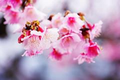 平菁街42巷 (aelx911) Tags: a7 a7markii a7ii sony glens fe90 fe90f28 90mm macro cherryblossom cherry flower nature plant taiwan taipei 平菁街42巷