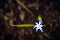 Spring is at 9 o'clock :) (Natalia Medd) Tags: blue one flower color colour colorfull bokeh blur dof green spring blossom bloom leaf arrow petals