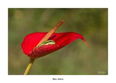 Hyla Arborea... (Canconio59) Tags: ranita frog planta macro hylaarborea ranitadesanantonio anthurium rojo red verde green españa spain galicia canconio59