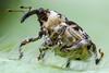 Hadroplontus trimaculatus (Sebastián Jiménez López) Tags: beetle canon 7dmk2 macrophotography macro naturallight focusstacking zerene insect reversedlens konicahexanon40mm coleoptera escarabajo pentaxbellows bellows curculionidae hadroplontustrimaculatus hadroplontus weevil