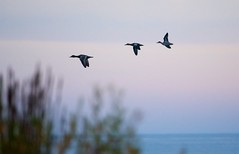 Blue-winged Teal Flight (imageClear) Tags: flight bif ducks birds blueteal lakeshore lakemichigan sheboygan wisconsin aperture nikon d500 80400mm beauty nature northpoint sky imageclear flickr photostream