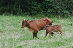 Gado (jakza - Jaque Zattera) Tags: filhote bezerro dois mãeefilho