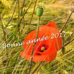 Bonne année ! (yannickbenassi) Tags: carré rouge lignes bonneannée2017 coquelicots