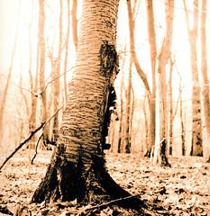 Printed lith 20x20 (Claudio Taras) Tags: moersch shadow se5 lith lithprint omega claudio contrasto taras trier wald bokeh bw bokehlicious alternativprint rolleiflex35f rodinal monochrom mediumformat medioformato 6x6 albero foresta