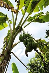 Ultimato: cores, sabores e sons. Bananeira