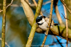 Coal Tit (phat5toe) Tags: coaltit birds avian feathers wildlife nature wigan flashes greenheart nikon d300 sigma150500