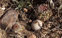 puffball (Jeff Mitton) Tags: puffball nylonhedgehogcactus fungus earthnaturelife wondersofnature
