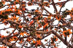 #Bombax_ceiba #sign_of_spring #flower #beautiful #nature (White Lion13) Tags: beautiful signofspring nature bombaxceiba flower spring