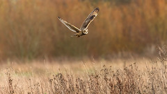 Short Eared Owl (steve waddingham Follow Me Follow You) Tags: stevenwaddinghamphotography meadow owl short eared prey vole mice kill bird wild