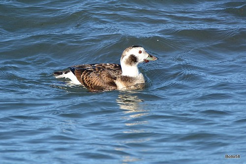 Long-tailed Duck - Offshore, Guernsey 28-12-2016 14-40-02