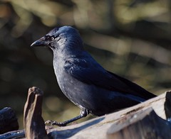 2016_02_0260 (petermit2) Tags: jackdaw crow clumberpark clumber sherwoodforest sherwood nottinghamshire nationaltrust nt