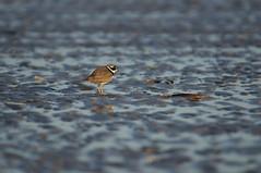 Ringed Plover (Jaedde & Sis) Tags: storpræstekrave ringedplover charadriushiaticula shore water patterns sand beach beginnerdigitalphotographychallengewinner bdpc