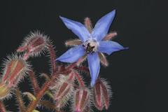 Borago officinalis, la bourrache officinale. (chug14) Tags: plante fleur boraginaceae boraginacées borraginaceae borraginacées boraginales asteranae bourracheofficinale boragoofficinalis