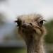 A lovely ostrich
