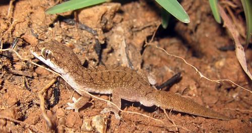 Reticulated Leaf-toed Gecko (Hemidactylus reticulatus), Vellore, Tamilnadu, India