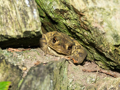 Toad in the hole in the wall